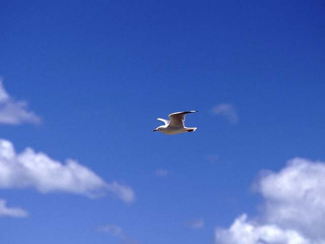 A seagull in the blue sky